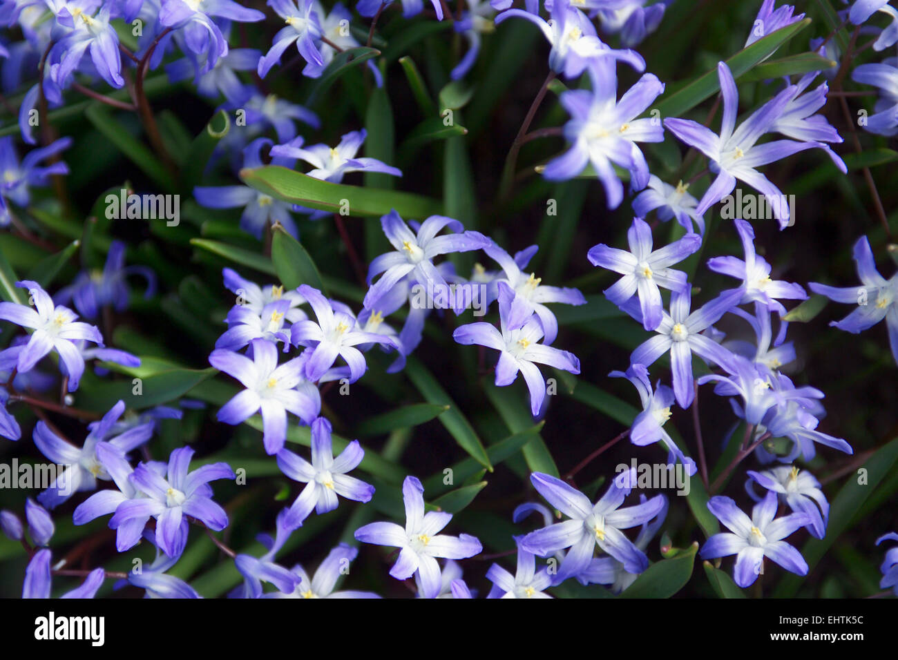 Blue spring flowers / Squill - Stock Image