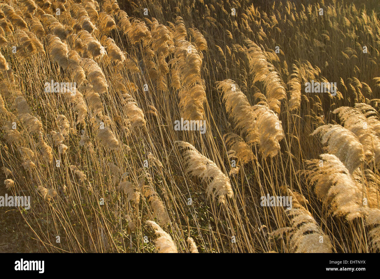 ILLUSTRATION OF THE CAMARGUE, GARD (30), LANGUEDOC-ROUSSILLON, FRANCE - Stock Image