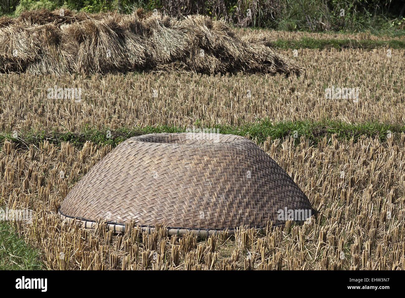 Rice harvest - Stock Image