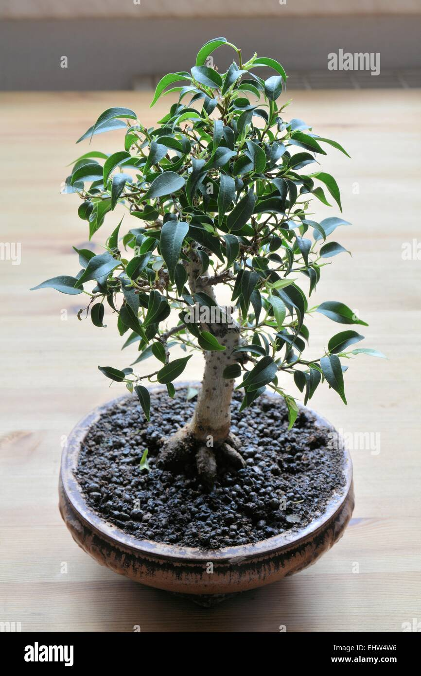 Bonsai Form Stock Photos Images Alamy Wiring Schefflera On A Table Image