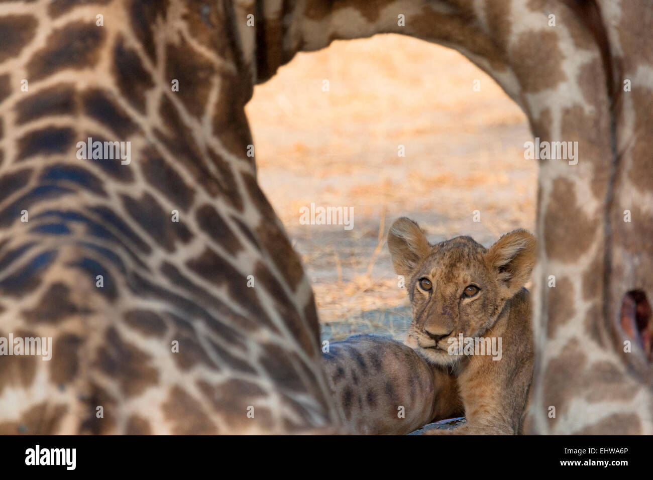 Lion cub visible though the neck of a Giraffe carcass. - Stock Image