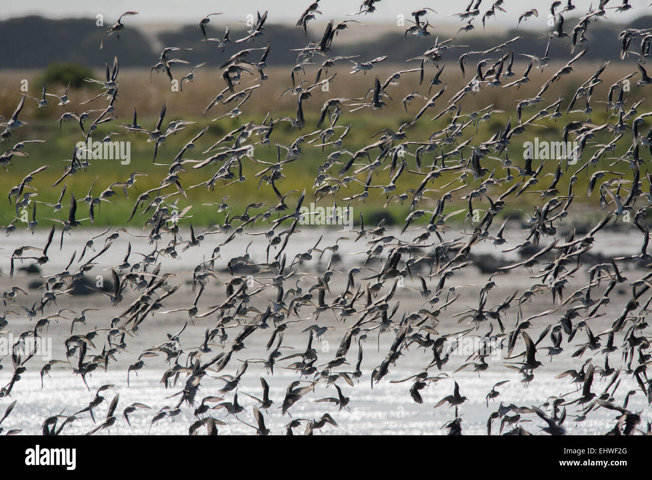 Sandpipers - Stock Image