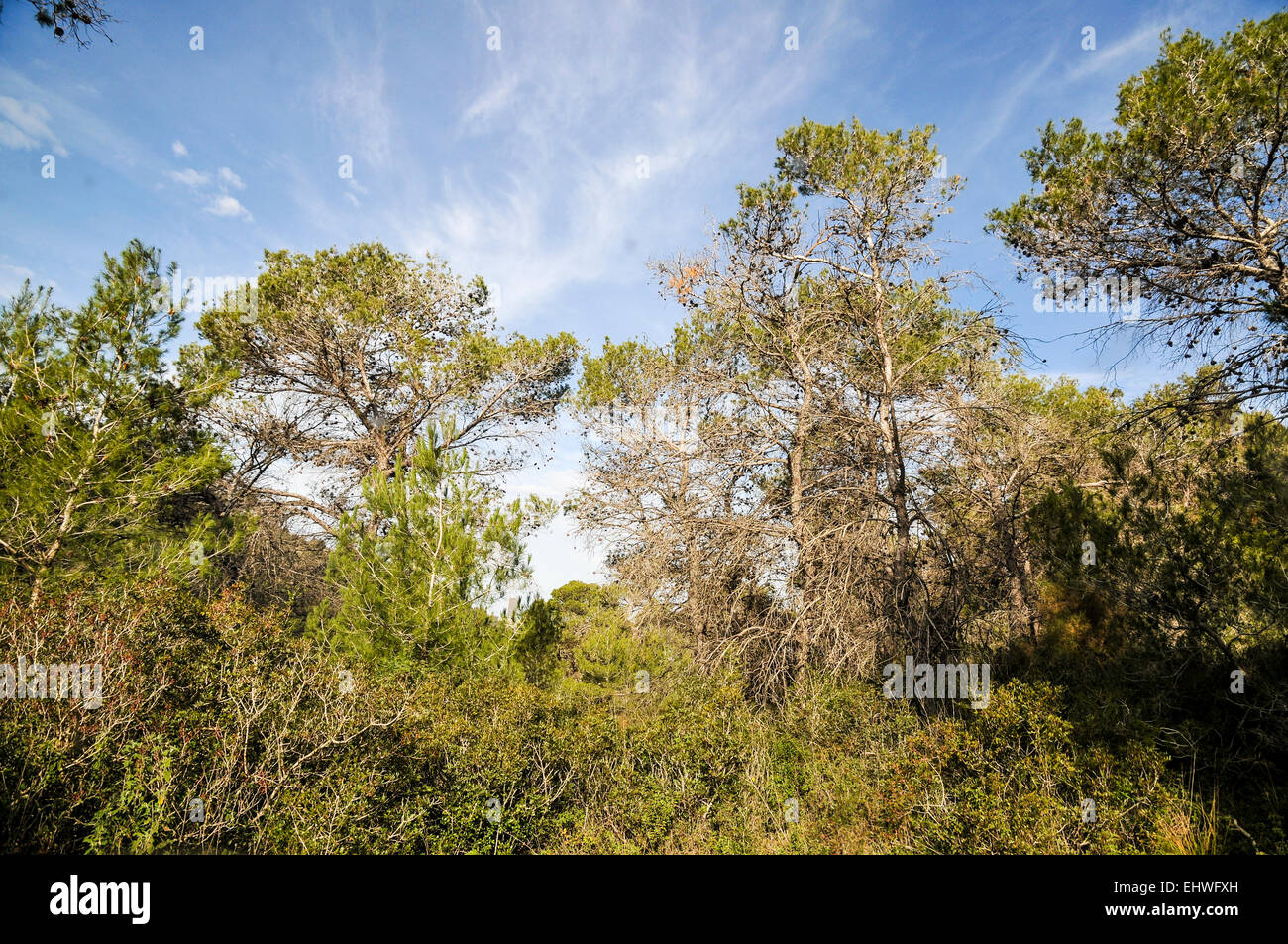 Pine tree forest. Photographed in the Carmel Mountain, Israel - Stock Image