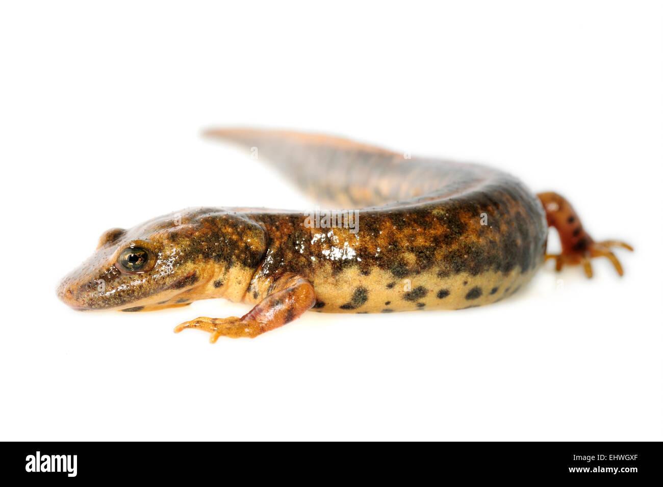 [captive] Sardinian brook salamander or Sardinian mountain newt (Euproctus platycephalus) , Sardinia, Italy | Der - Stock Image