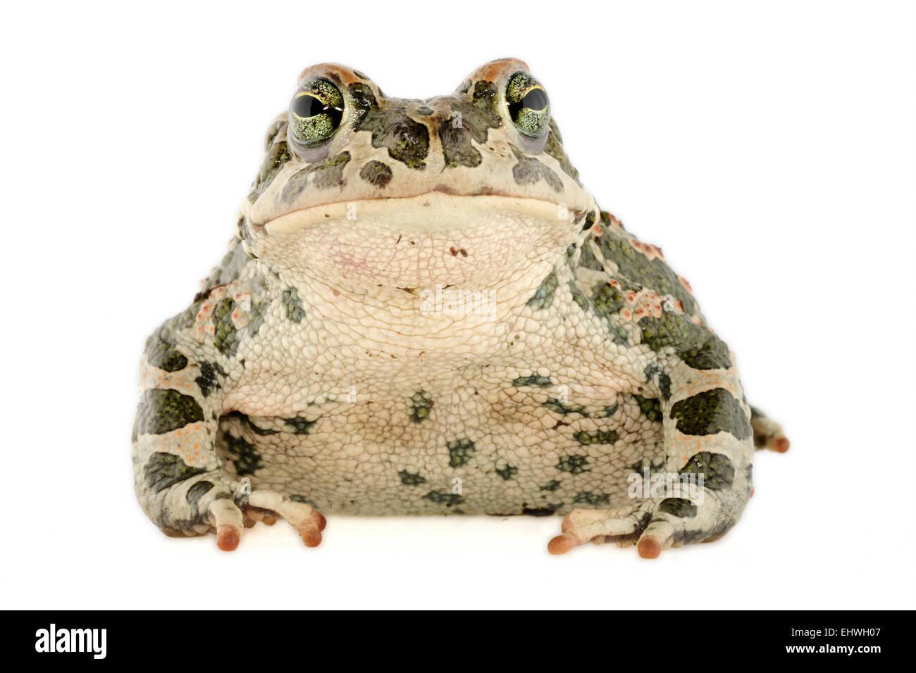 [captive] Green toads (Bufo viridis), Lake Coghinas (Italian: Lago di Coghinas) is an artificial lake, in northern - Stock Image