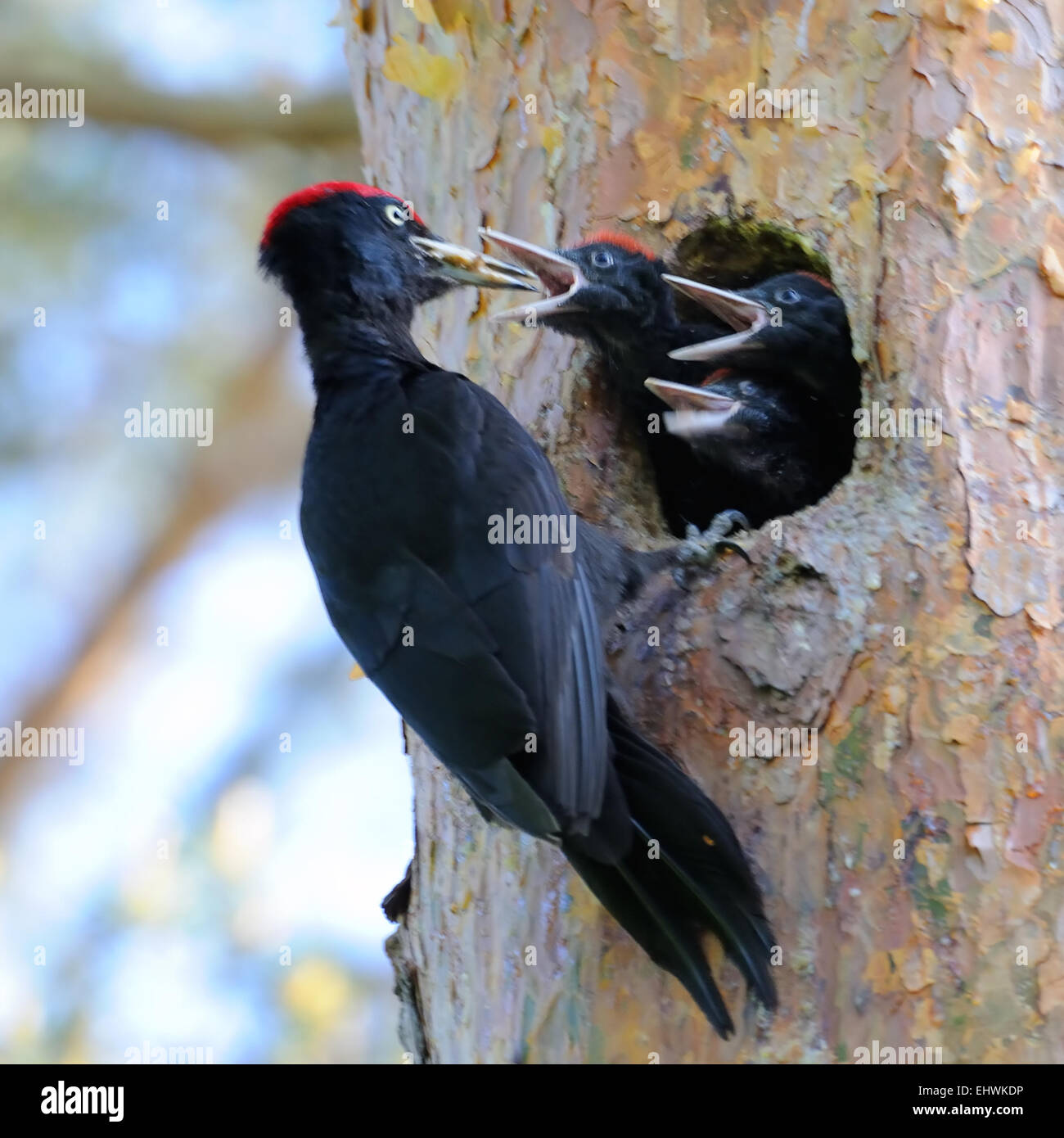 Black Woodpecker near the nest-hollow in the pine-tree and three nestlings - Stock Image