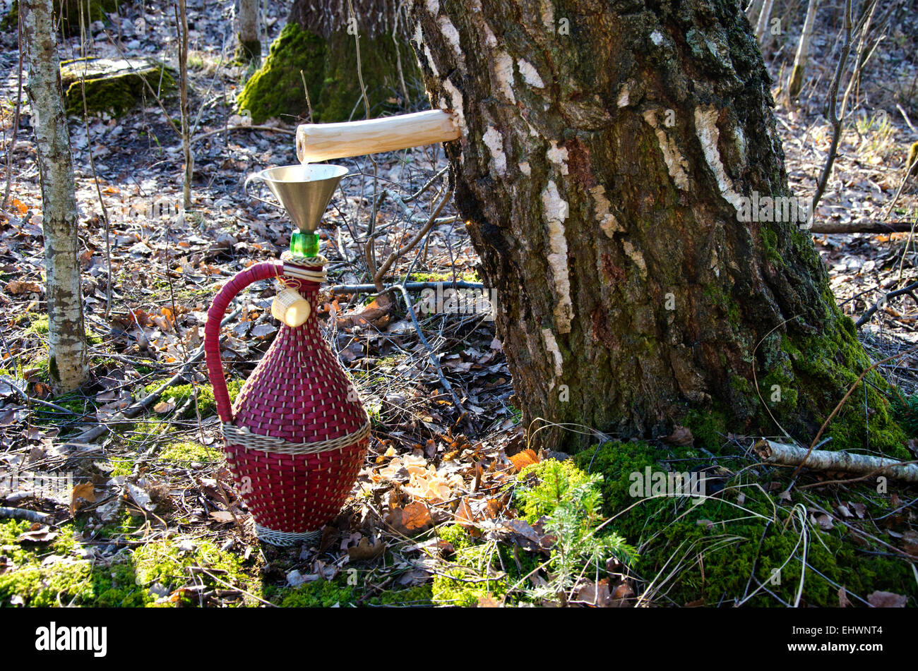 vintage wicker wine bottle and birch tree with spigot and sap drops - Stock Image
