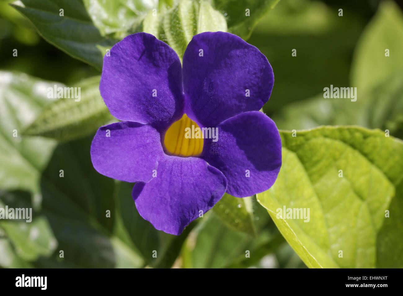 Thunbergia battiscombei, Blue Boy, Blue Glory Stock Photo