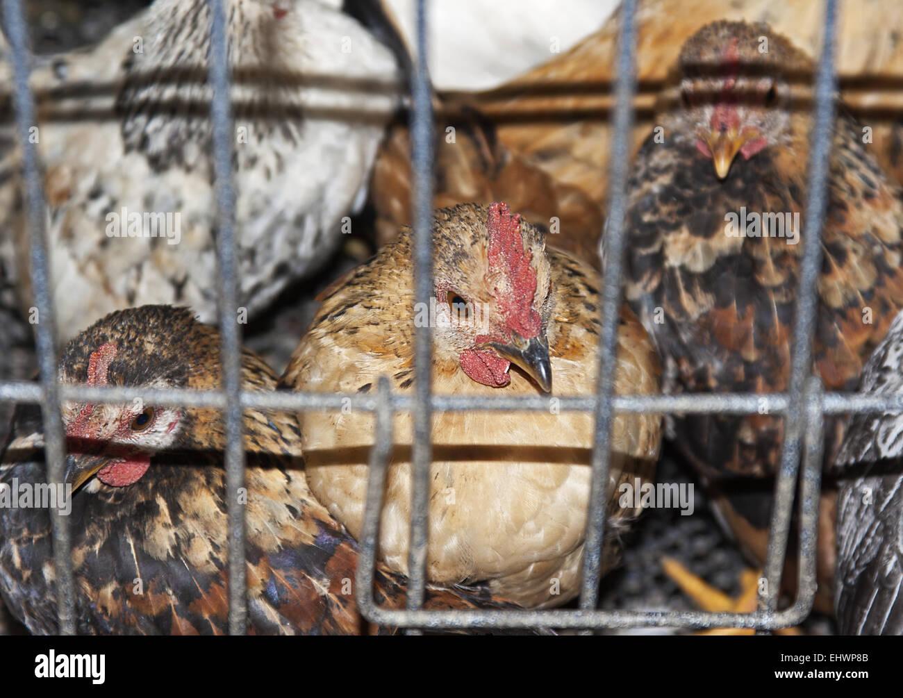 Bird flu Stock Photo