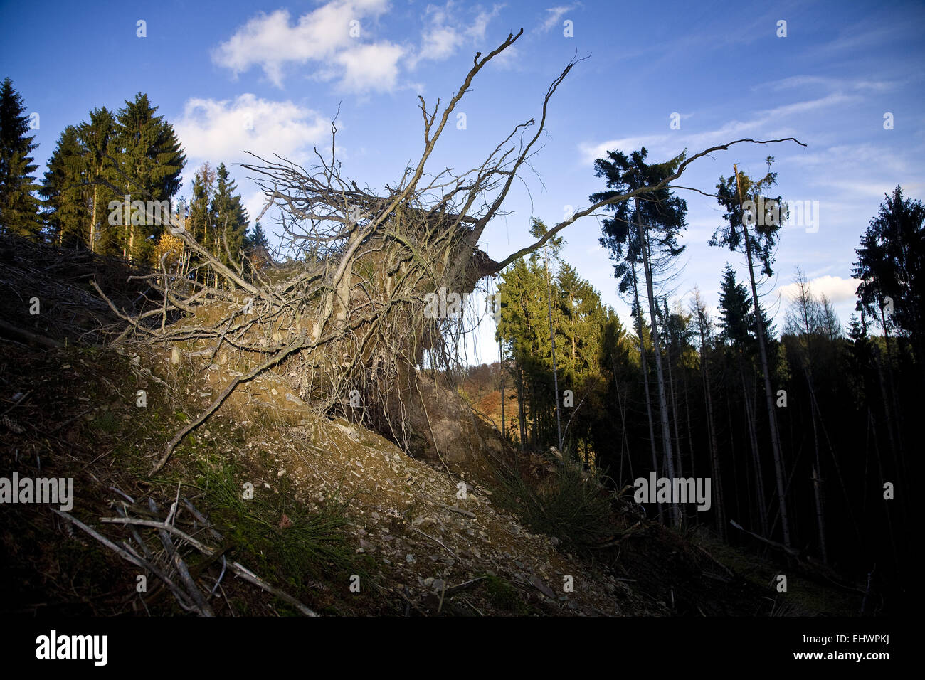 Uprooted tree, Breckerfeld, Germany. - Stock Image