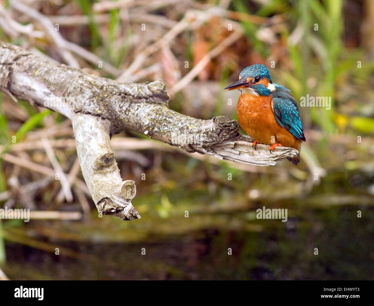 Kingfisher (Alcedo atthis) at a river in Ireland. Stock Photo
