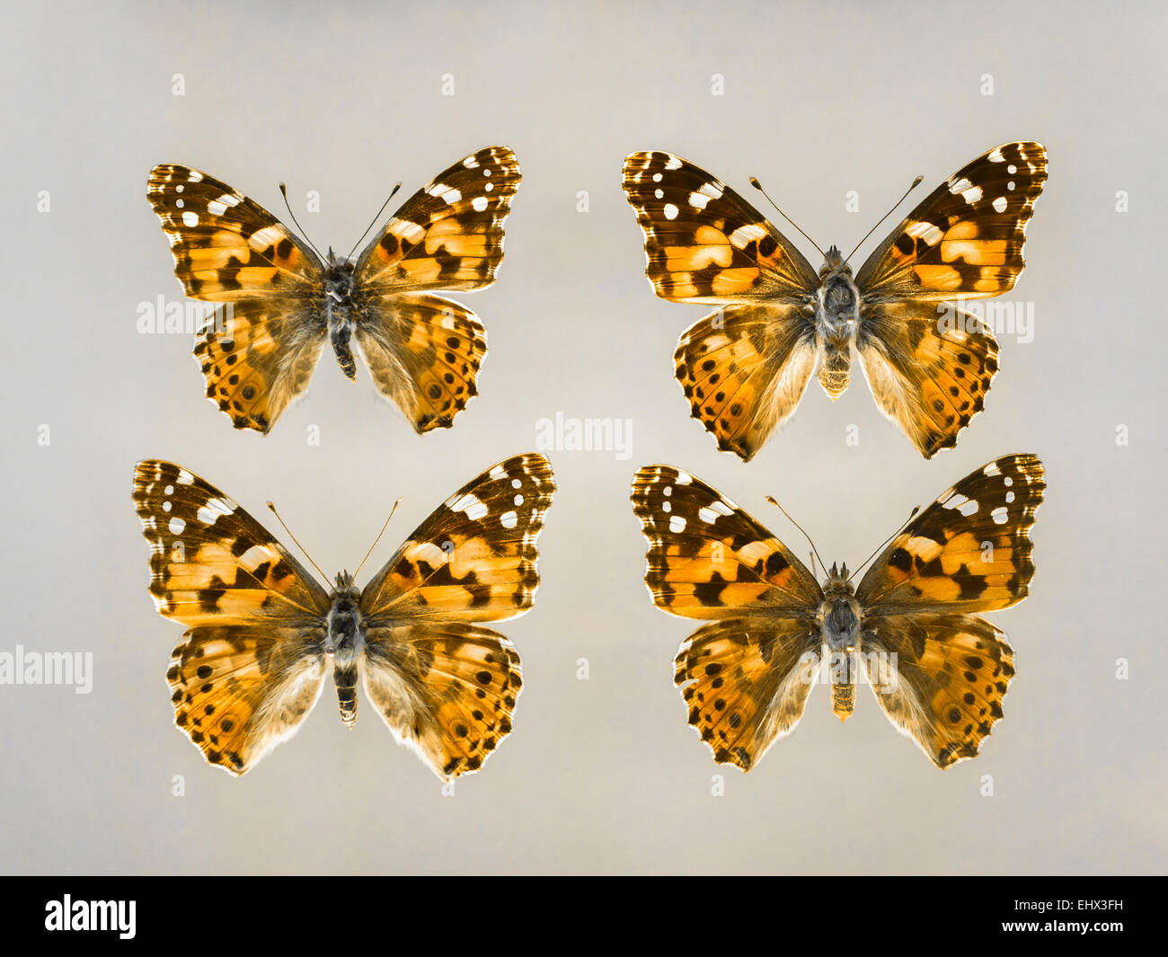 Four brush-footed butterflies - Stock Image
