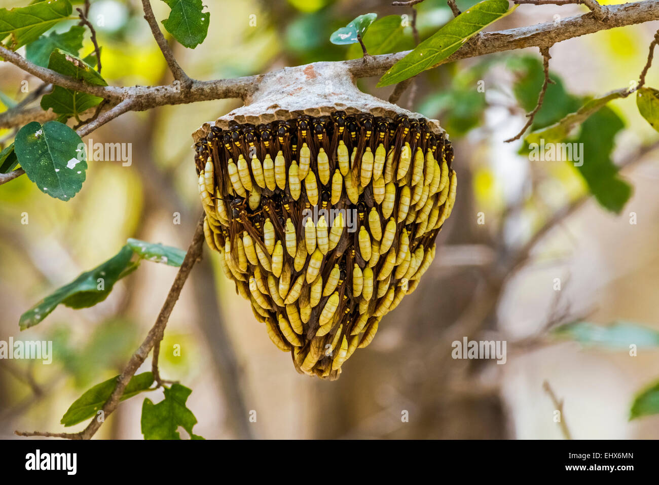 wasp nest known locally as dog s teeth hanging from tree in