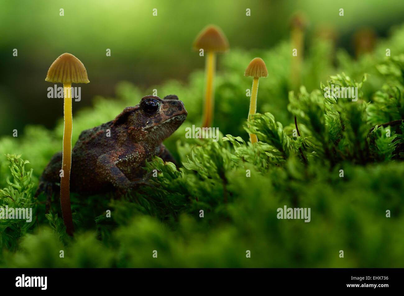 Juvenile Common toad, European toad (Bufo bufo) | Die Baumwurzel einer alten Eiche ist über und über mit Moosen bewachsen. Auch  Stock Photo