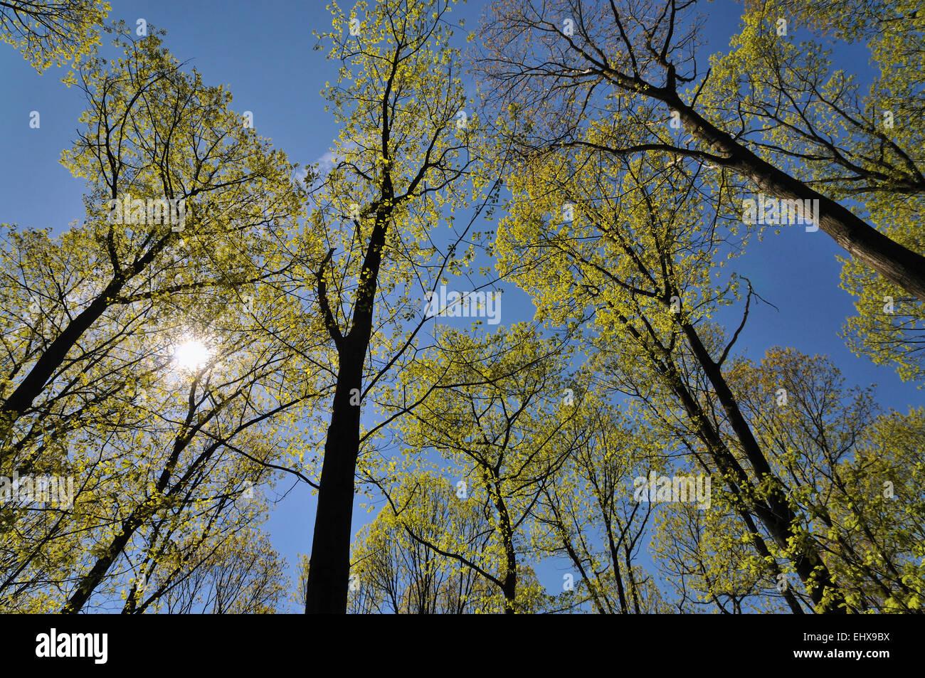 Tree tops with fresh leaves emerge, spring, North Rhine-Westphalia, Germany - Stock Image