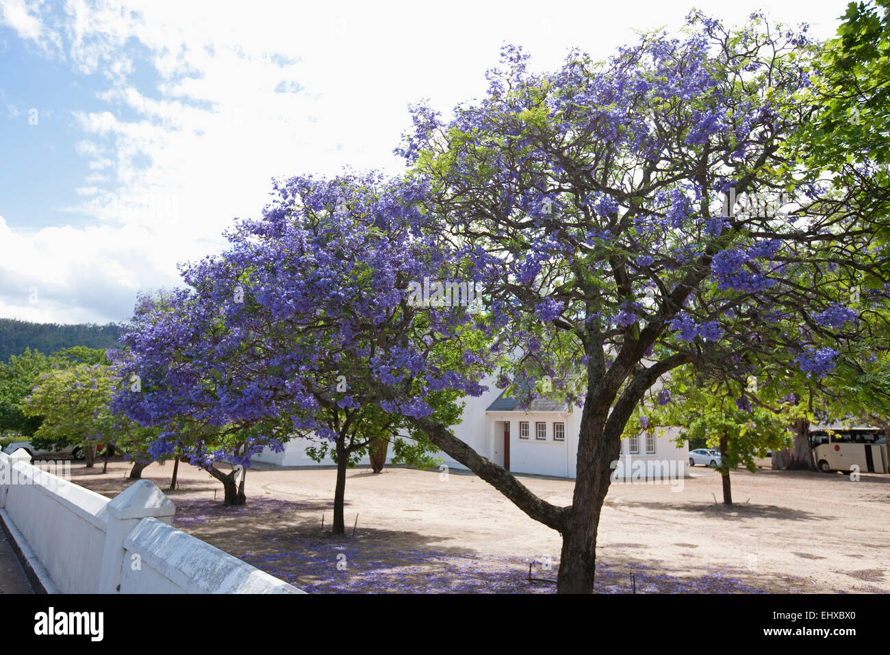 Purple budding flowers on blue jacaranda jacaranda mimosifolia purple budding flowers on blue jacaranda jacaranda mimosifolia trees franschhoek south africa izmirmasajfo