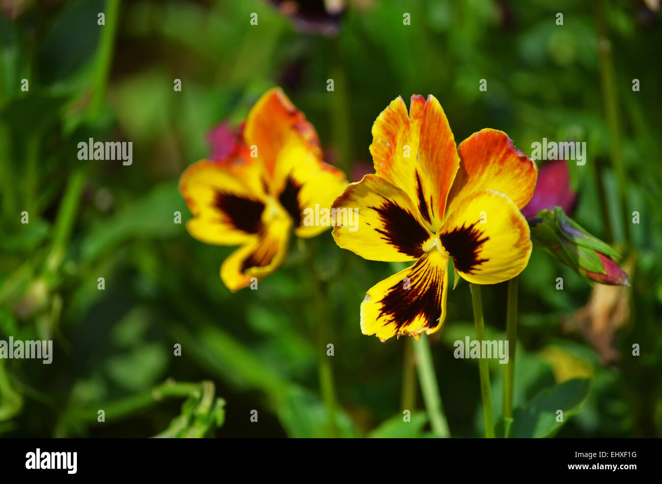 Yellow Pansy Flower At Botanical Garden In Ootytamilnaduindia