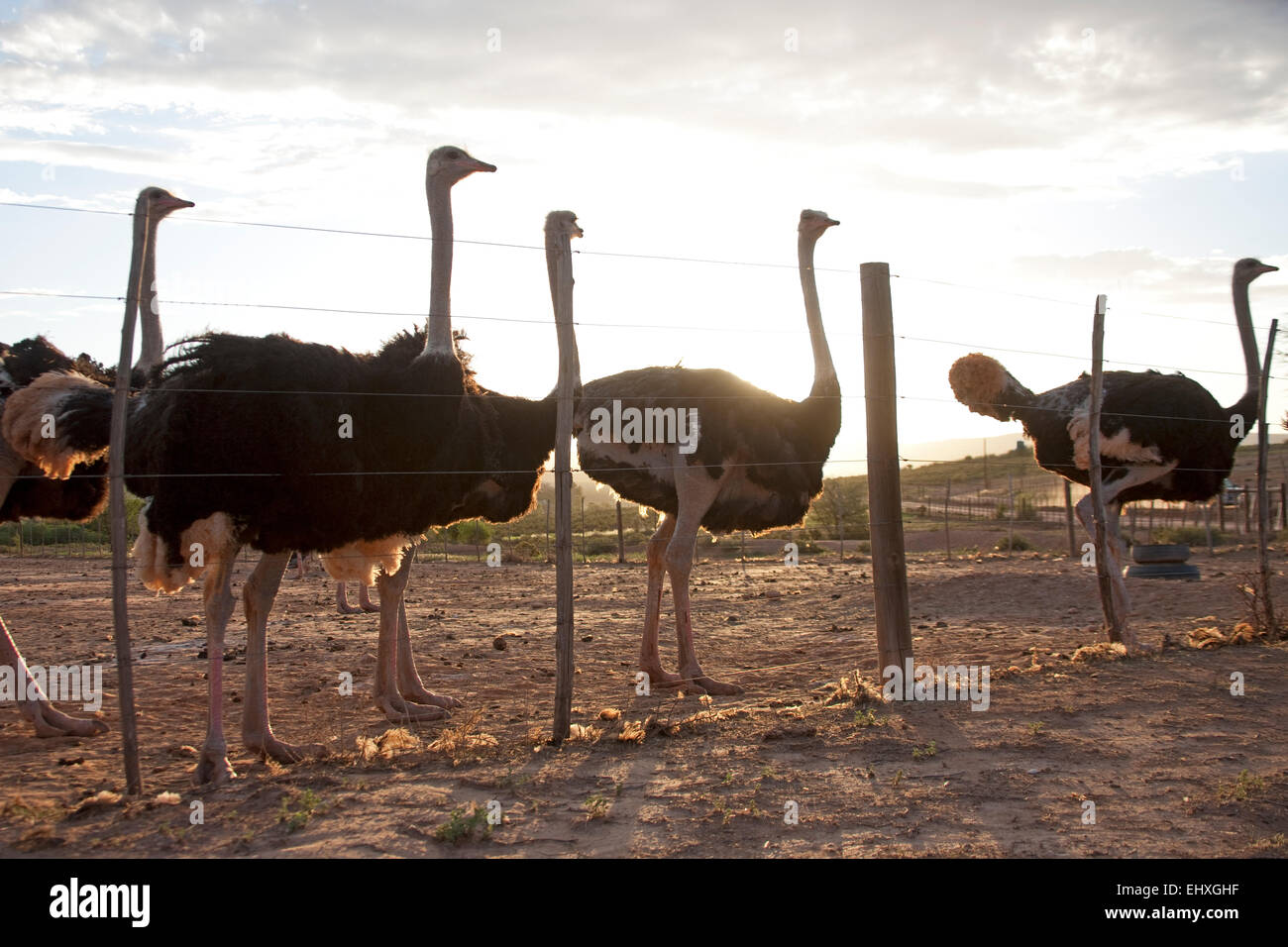 Group of ostriches behind farm fence, South Africa - Stock Image
