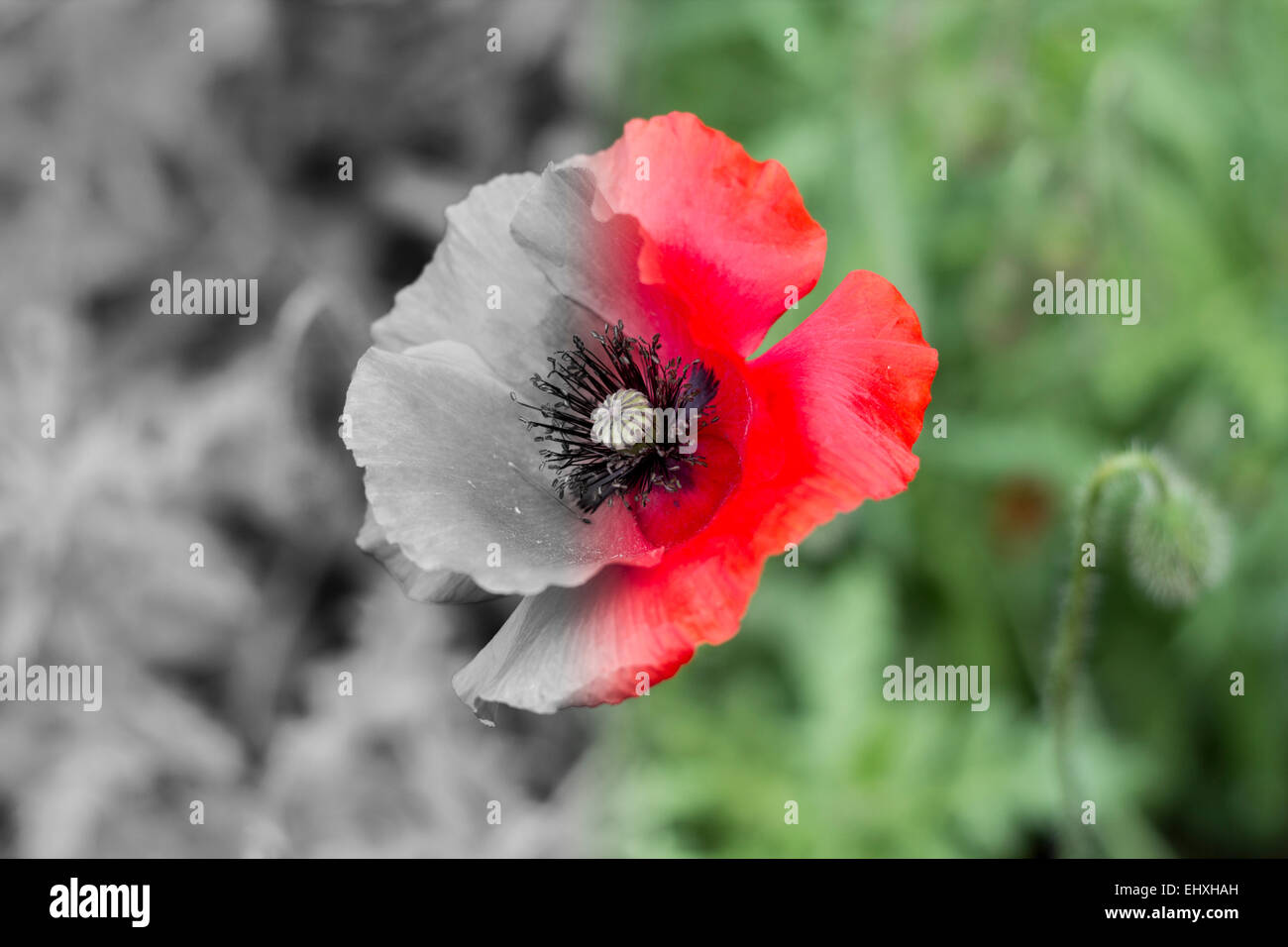 A red poppy with one half in black and white and one half in colour