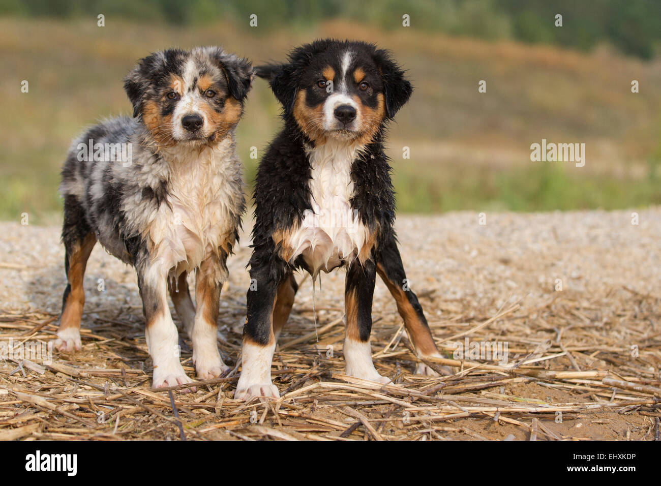 australian shepherd blue merle black tri pair wet puppies at the waters edge germany