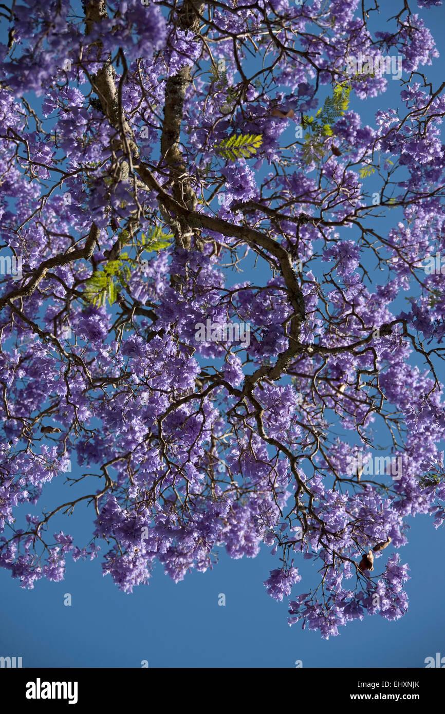 Flower blooming on Jacaranda tree (Jacaranda mimosifolia), South Africa - Stock Image