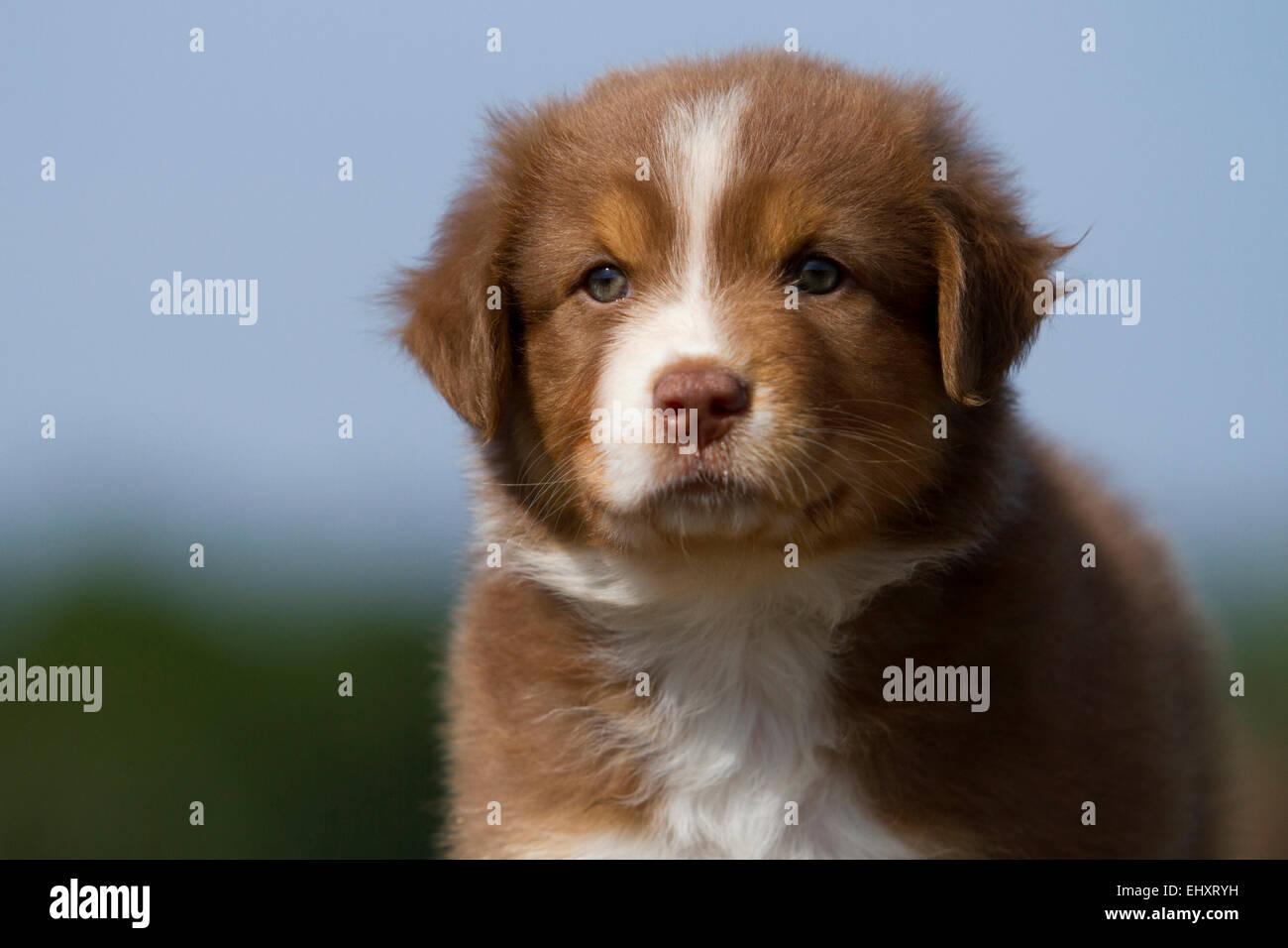 Australian Shepherd Red Tri Portrait Puppy Germany Stock Photo Alamy