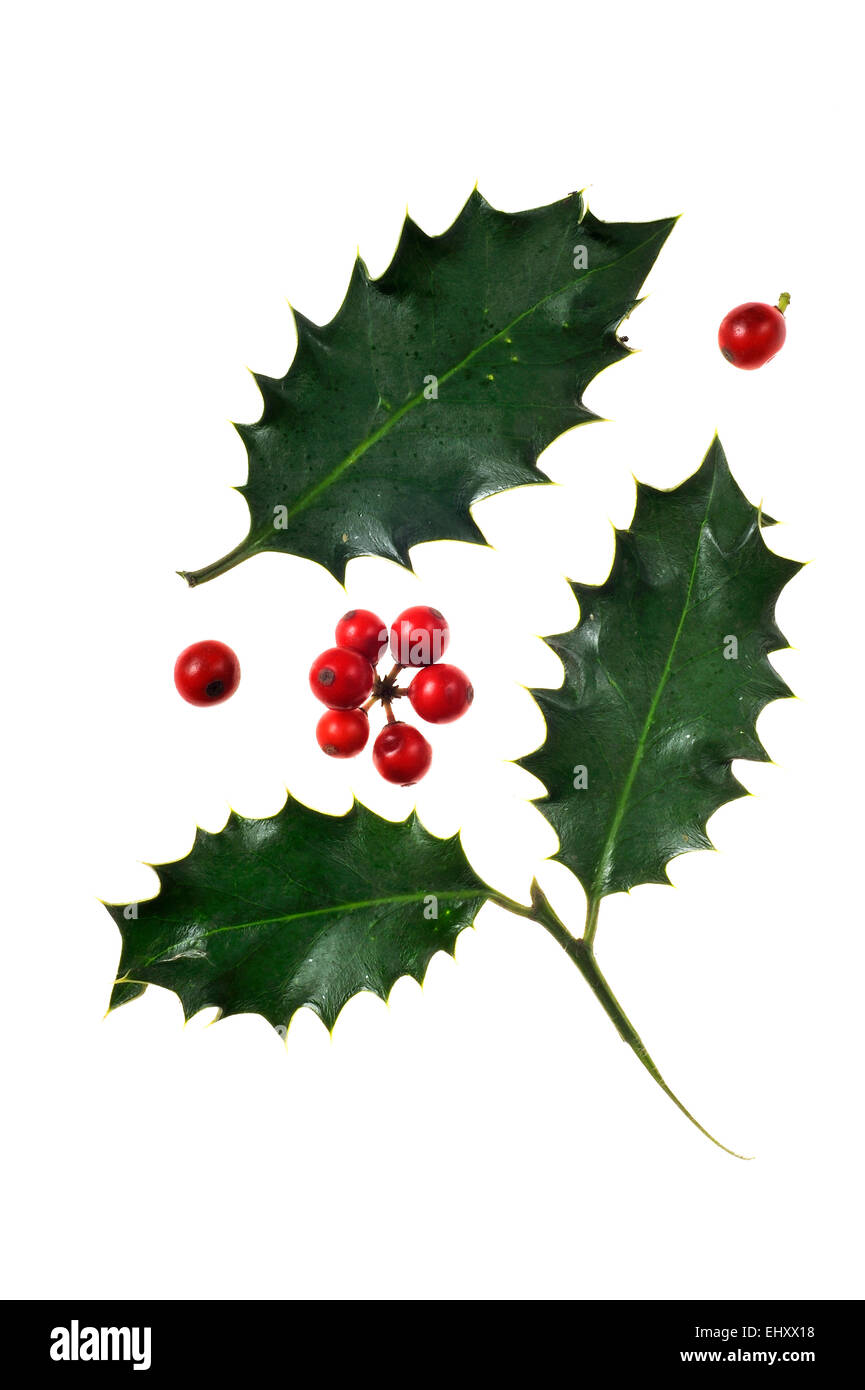 Common holly / English holly / European holly (Ilex aquifolium) close up of leaves and berries against white background - Stock Image
