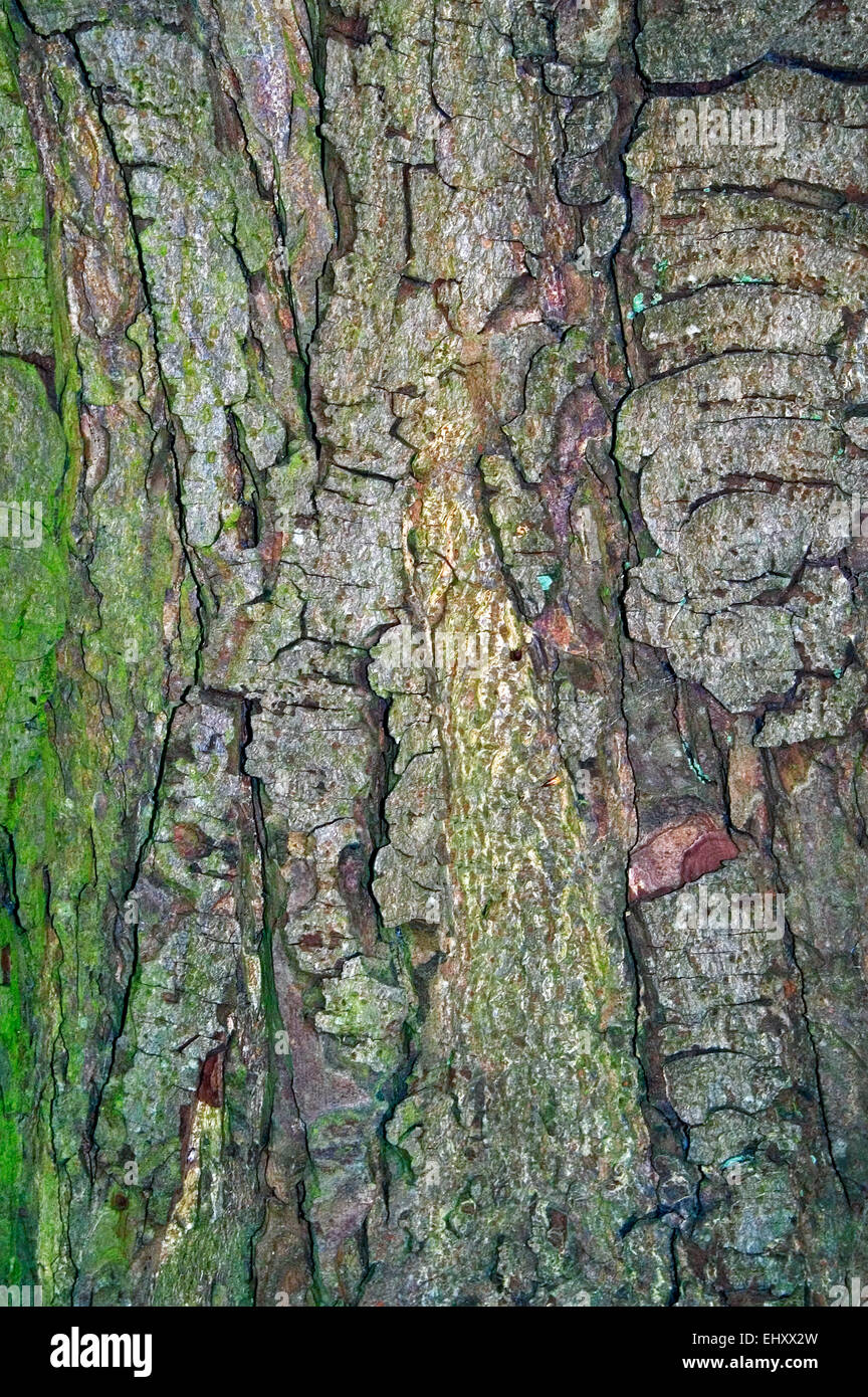 Horse chestnut / conker tree (Aesculus hippocastanum) close up of tree bark Stock Photo