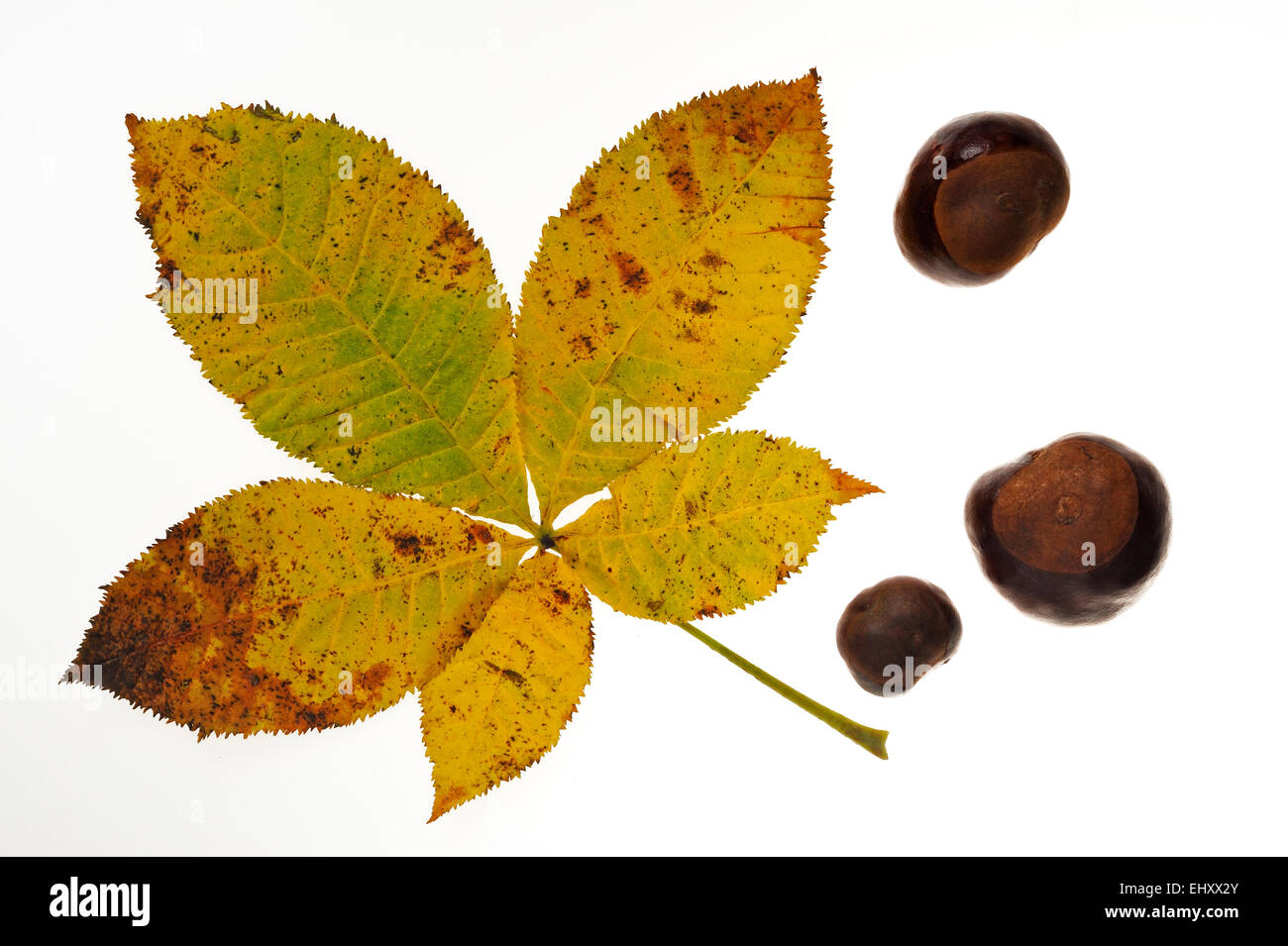 Horse chestnut / conker tree (Aesculus hippocastanum) conkers and leaves in autumn colours against white background - Stock Image