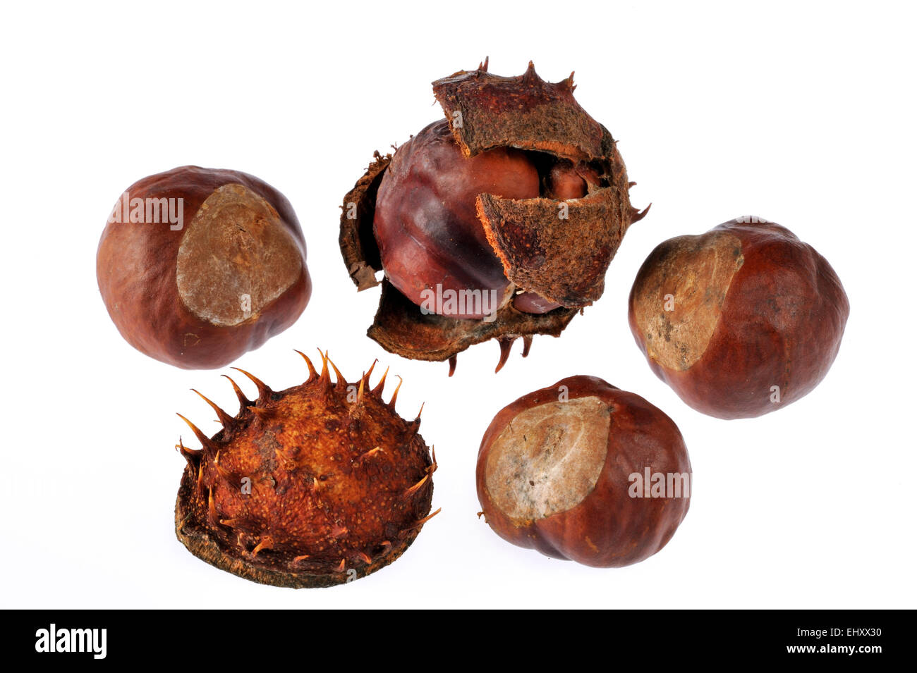 Horse chestnut / conker tree conkers / chestnuts (Aesculus hippocastanum) against white background - Stock Image
