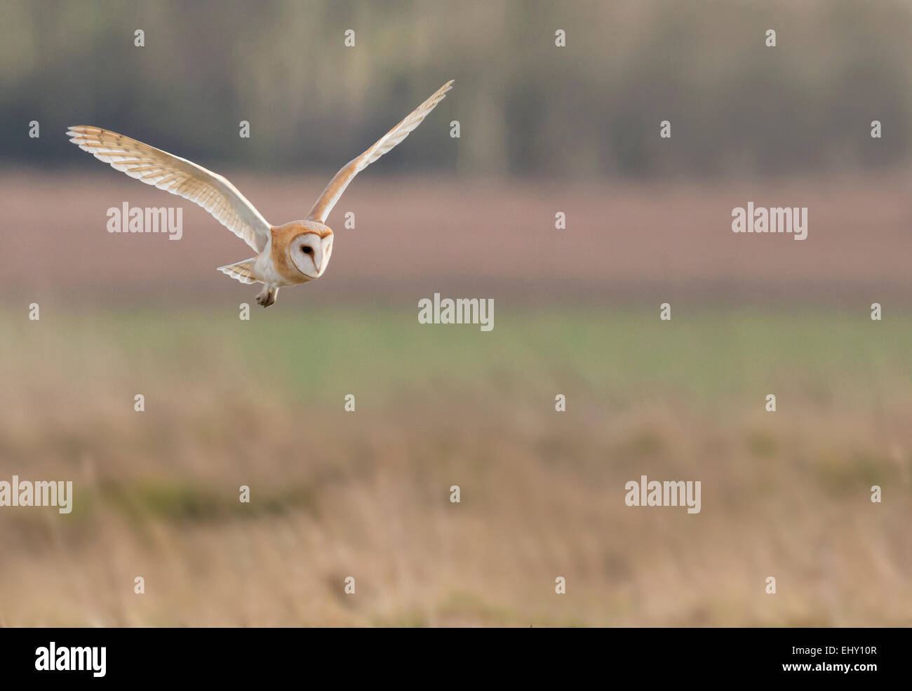 Wild Barn Owl Tyto Alba hunting over Cotswolds grasslands - Stock Image