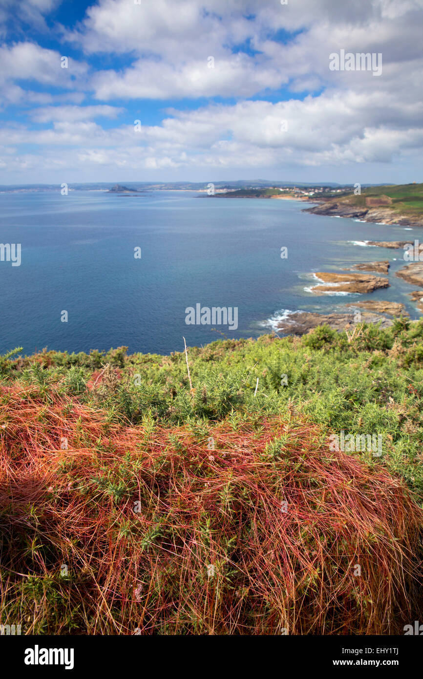 Cudden Point; Dodder on Gorse; Looking Towards St Michael's Mount Cornwall; UK - Stock Image