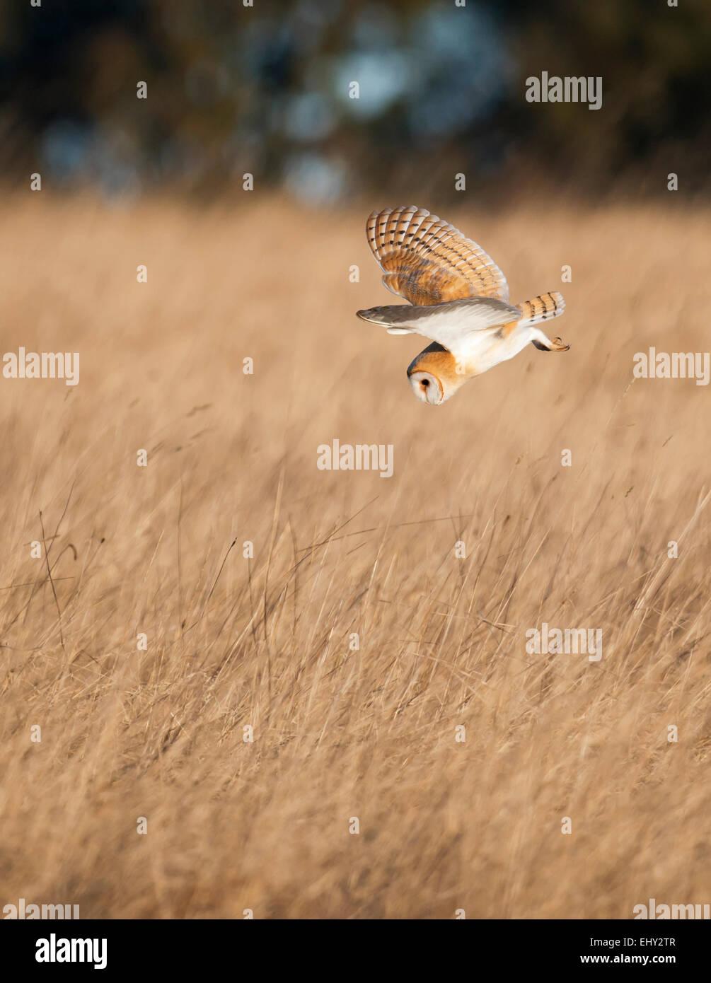 Wild Barn Owl Tyto Alba diving for prey in golden morning sunlight over Cotswolds grasslands - Stock Image