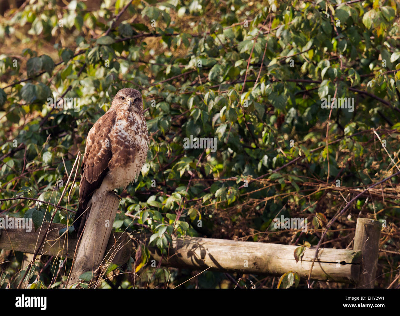 Wild Common Buzzard, Buteo buteo perched on fence post on edge of woodland - Stock Image