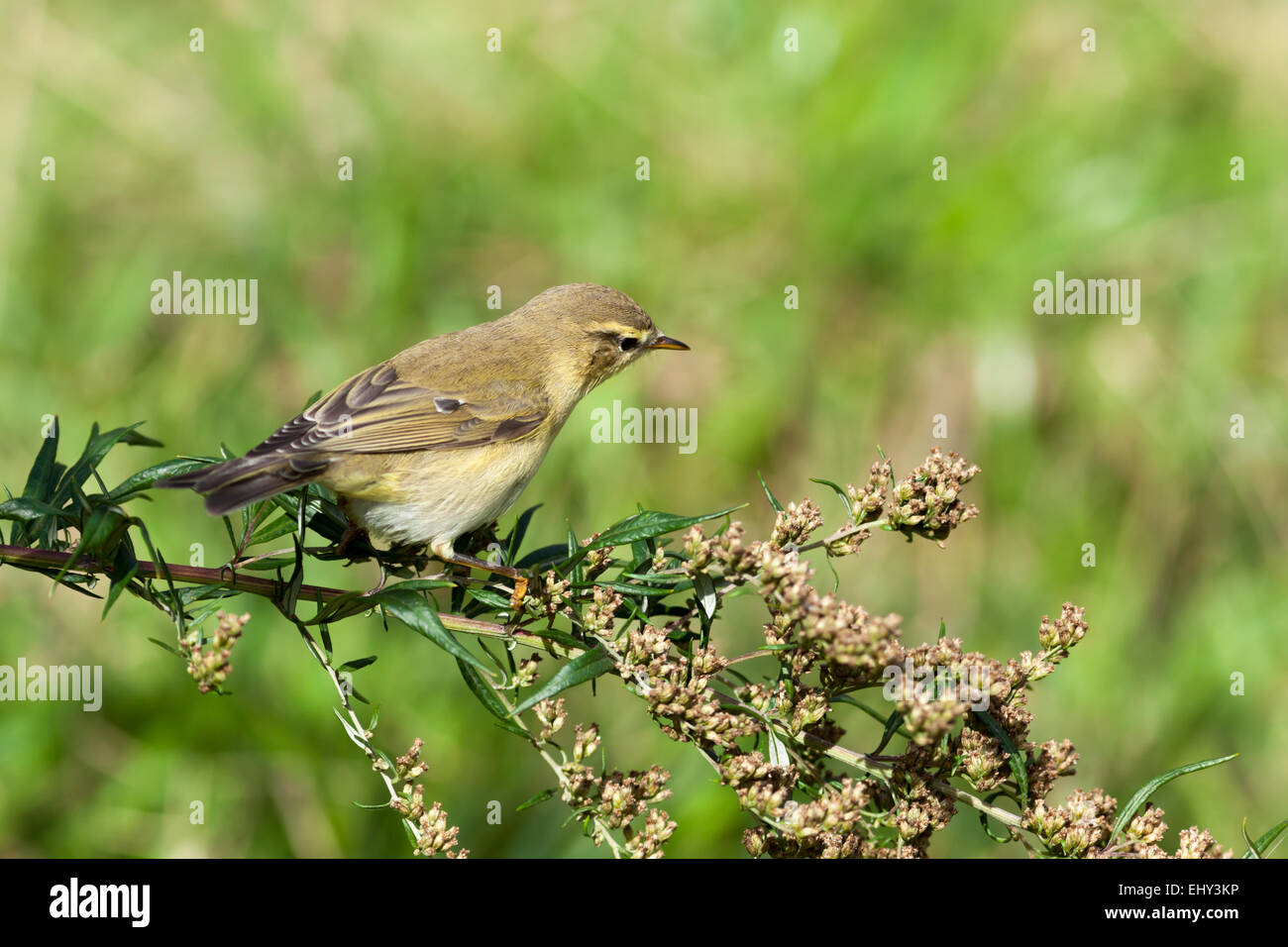 Leaf warbler (Willow Warbler?) (Phylloscopus sp). Timirjazevsky park, Moscow. Russia. Stock Photo
