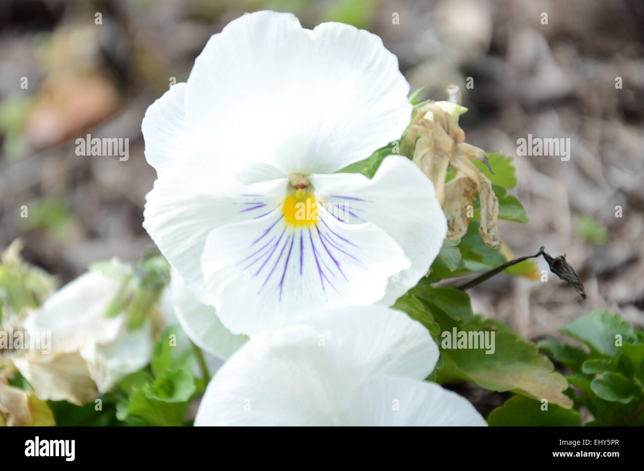White flower with purple center stock photos white flower with a white flower with purple veins and a yellow center stock image mightylinksfo