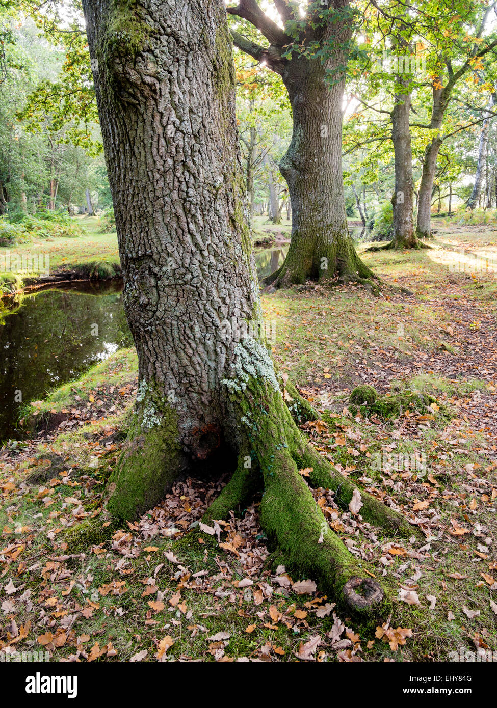 Broadleaf  Oak Trees along a stream in The New Forest Stock Photo