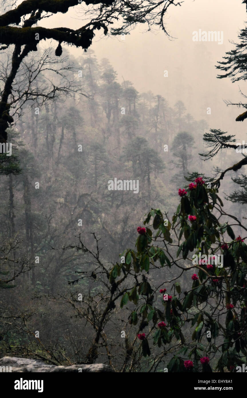 Rhododendron flowering in rainy Himalayas mountains in Nepalese forests - Stock Image