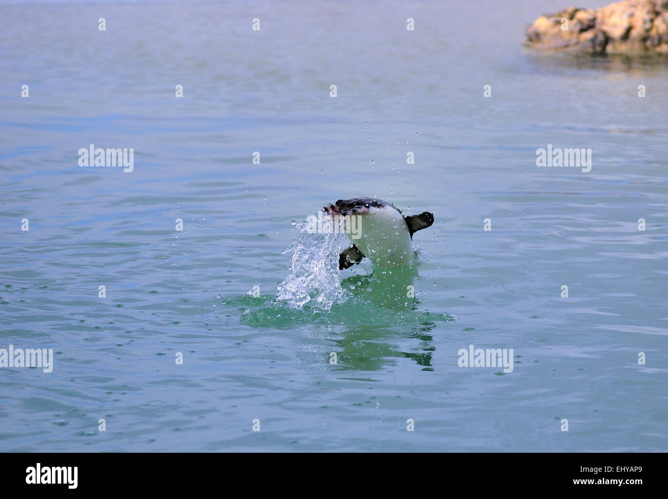 Penguin leaping through the air as it dives down into the water - Stock Image