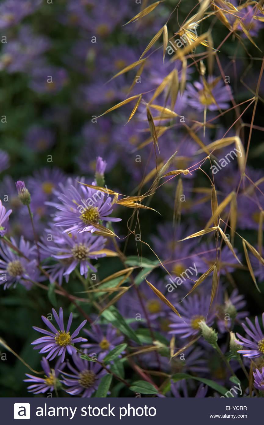 July Summer Herbaceous Perennial Plant Purple Flower Mauve Stock