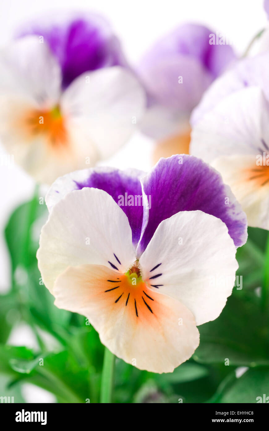 Multi colored spring viola close up background. - Stock Image