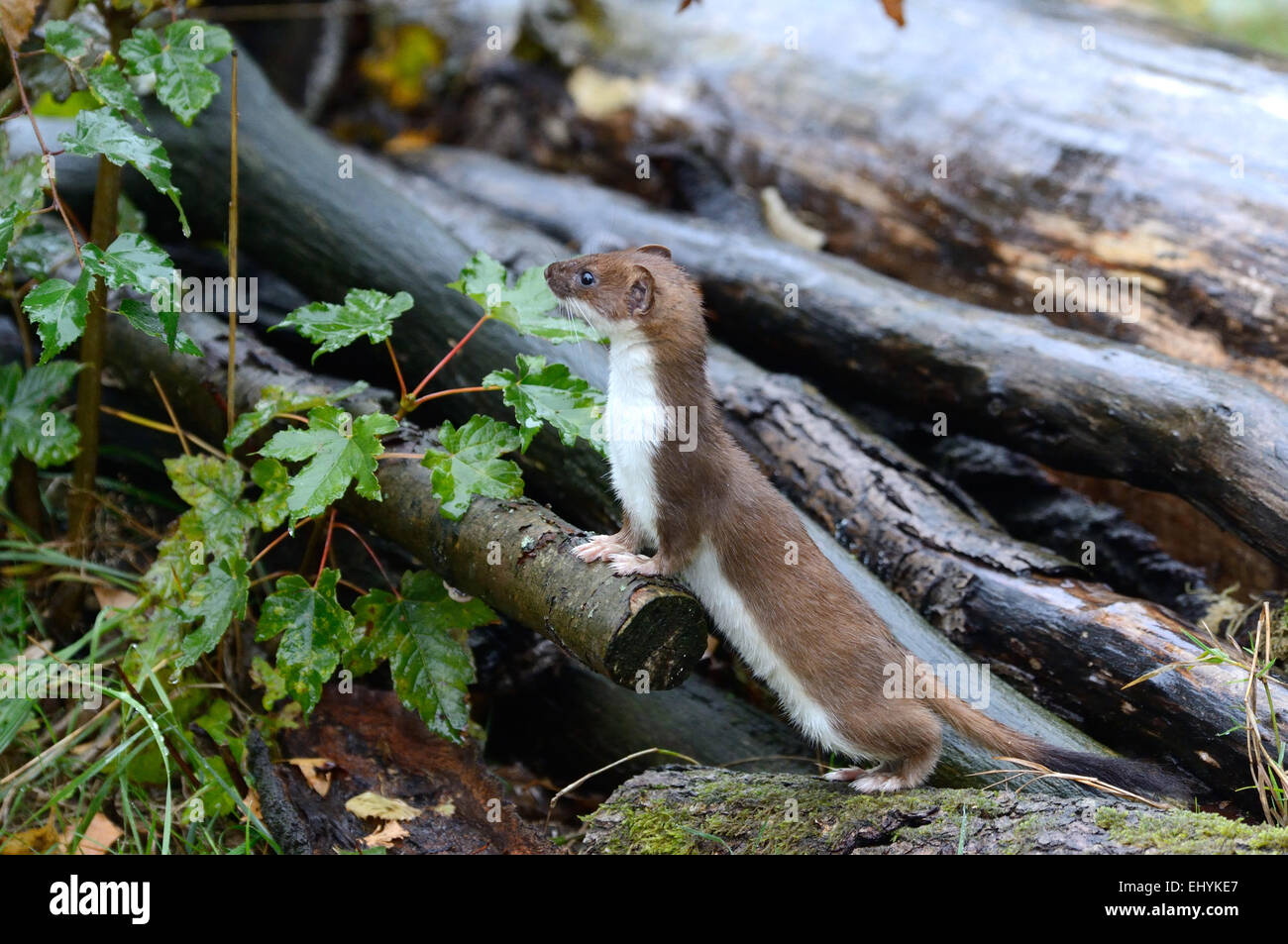 Ermine, animal, autumn, big weasel, short tail weasel, Mustela erminea, predator, canids, martens, mustelidae, Endemical, - Stock Image