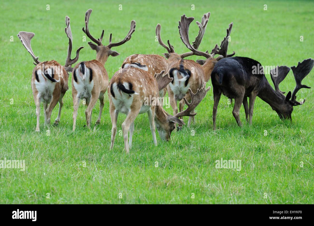 Damwild, fallow buck, deer, fallow bucks, deer, cloven-hoofed animal, consecrated bearer, Cervidae, Dama Dama, animals, - Stock Image