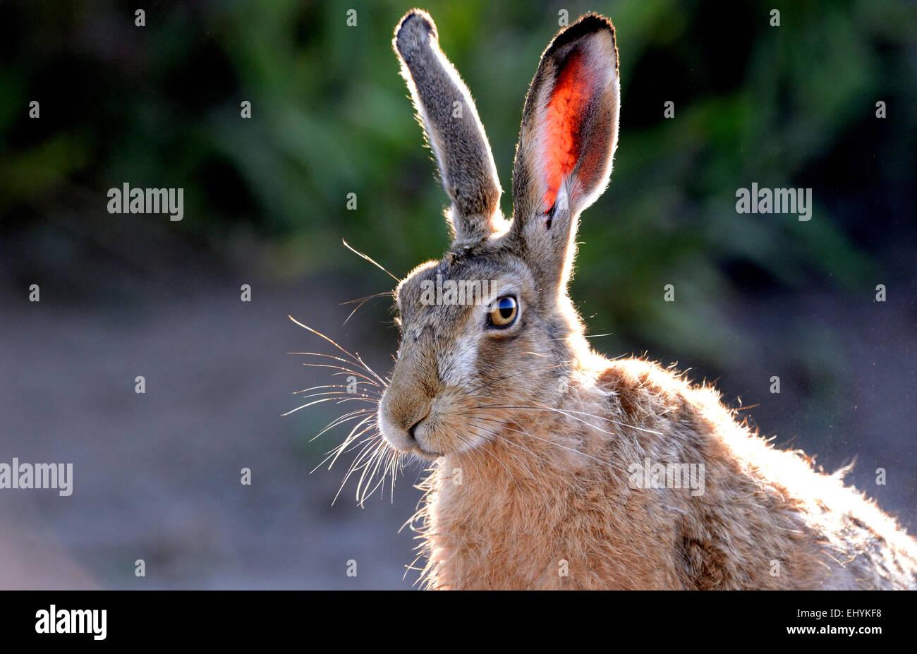Hare, Rabbit, Lepus europaeus Pallas, brown hare, Eoropean hare, animal, wild animal, game, low game, Germany - Stock Image
