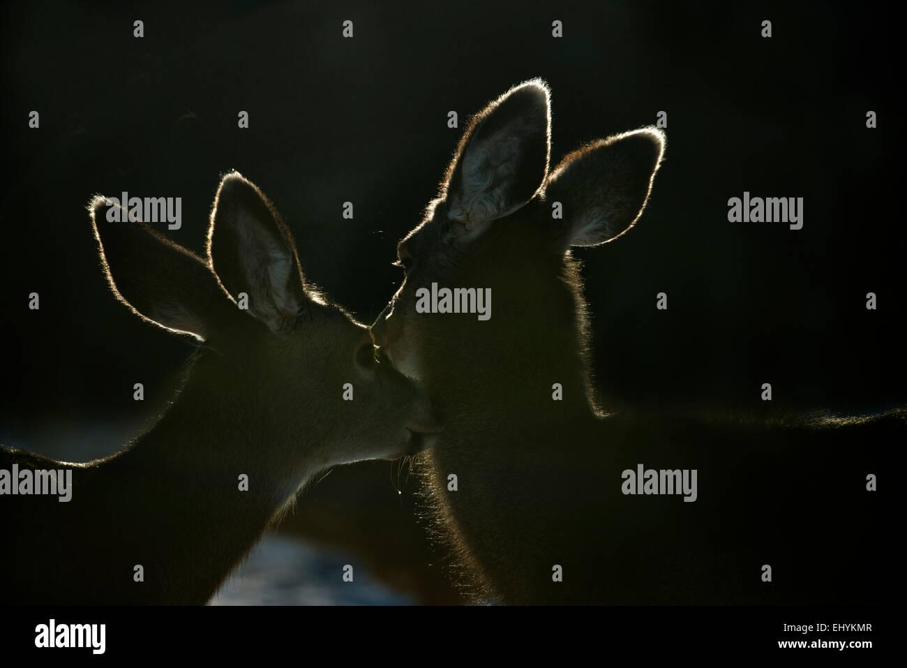 mule deer, blacktail deer, deer, animal, back light, Canada, odocoileus hemionus - Stock Image