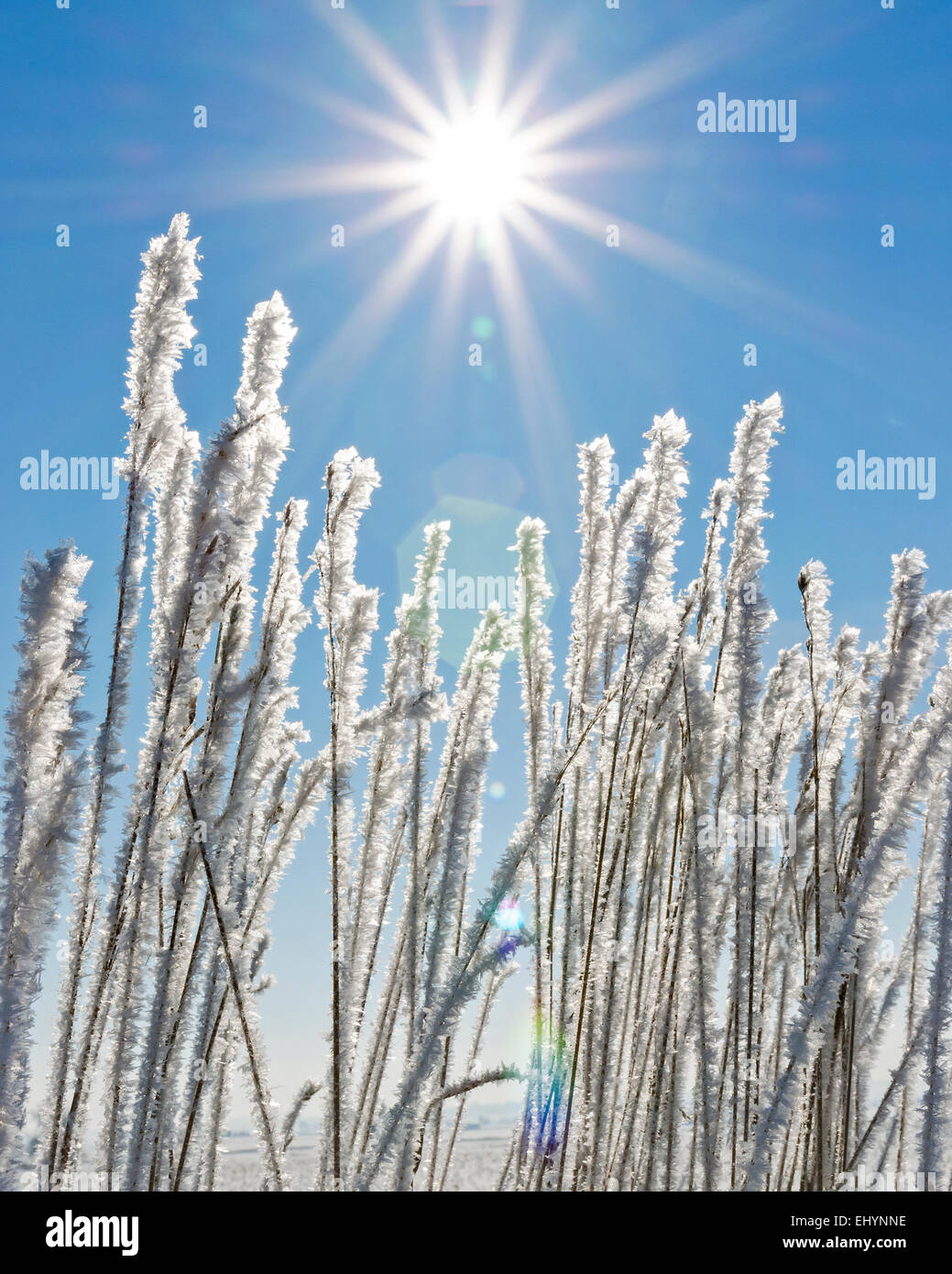 Frost covered wheat/grass in Colorado with blue sky and sun burst - Stock Image