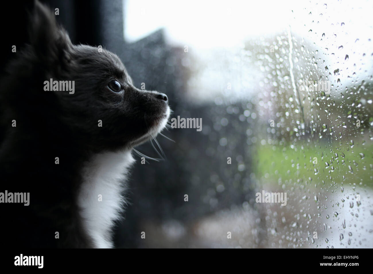 Chihuahua puppy looking through window - Stock Image