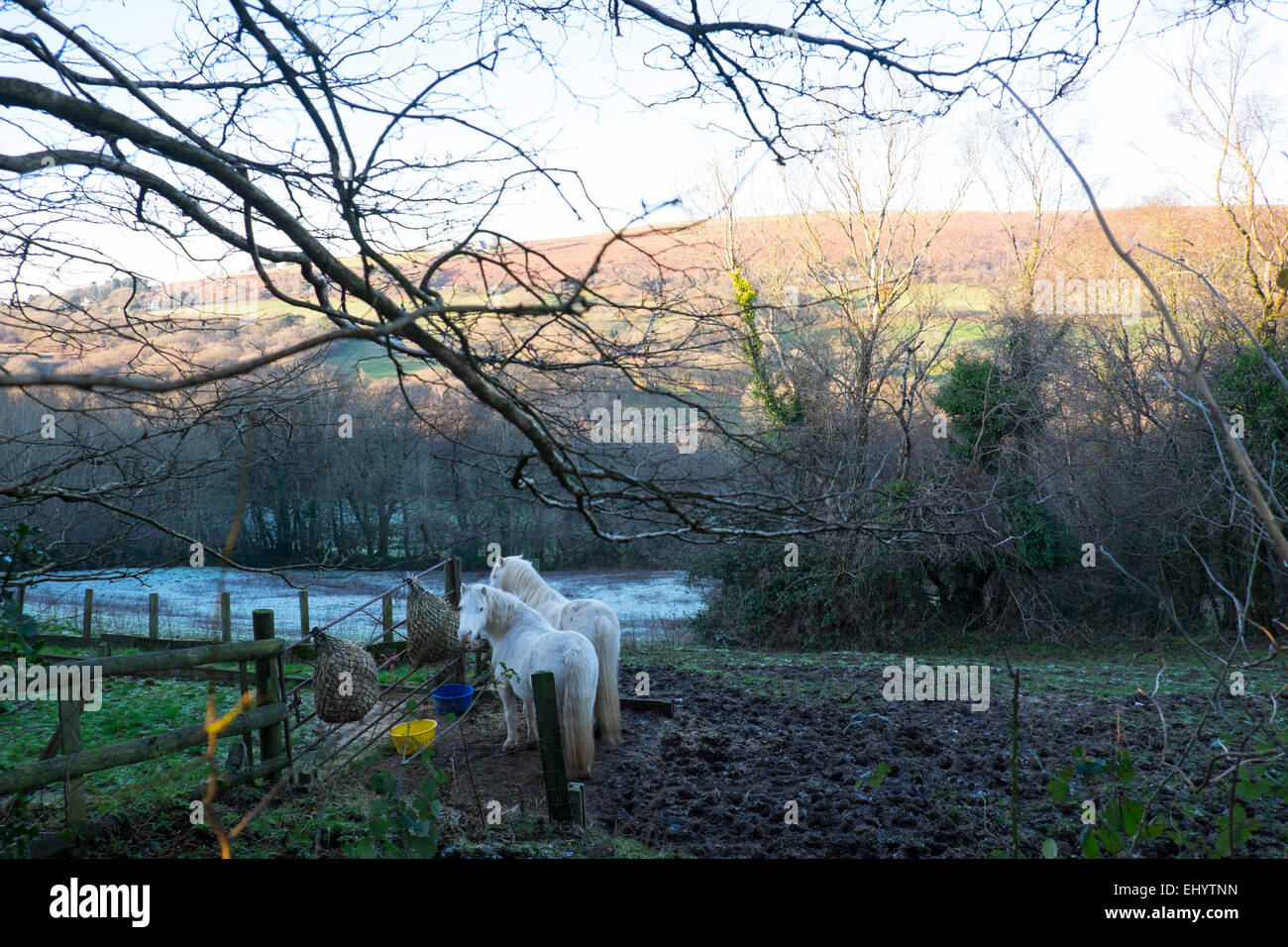 Ponies in muddy field, Garth mountain, near Cardiff, South Wales, UK - Stock Image