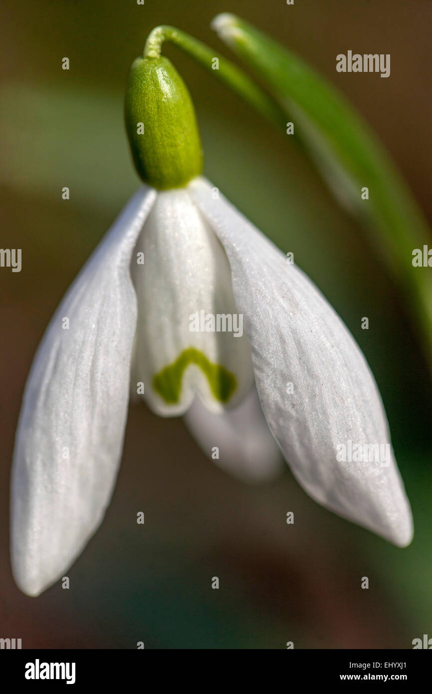 Snowdrop, Galanthus nivalis close up - Stock Image