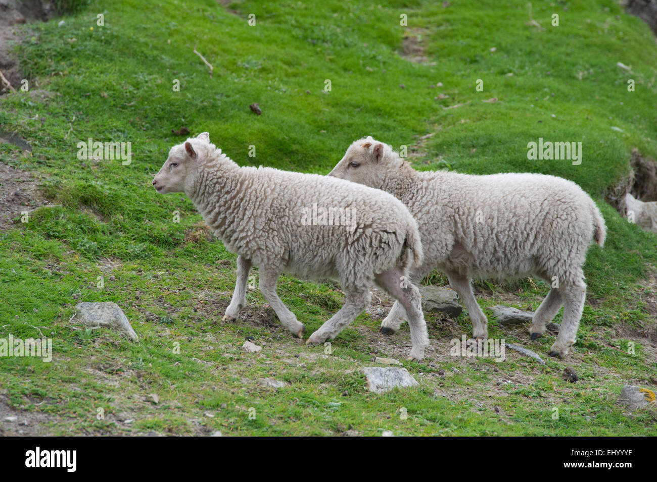 The Sheep that supply the famous Fair Isle wool, wondering across the grass on Fair Isle in the Shetland Islands - Stock Image